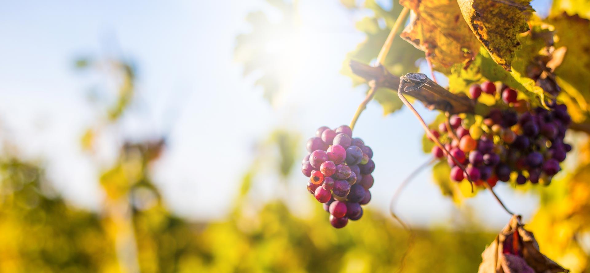 Weingut Scherner Kleinhanß